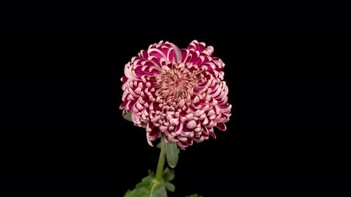 Beautiful Pink Chrysanthemum Flower Withers