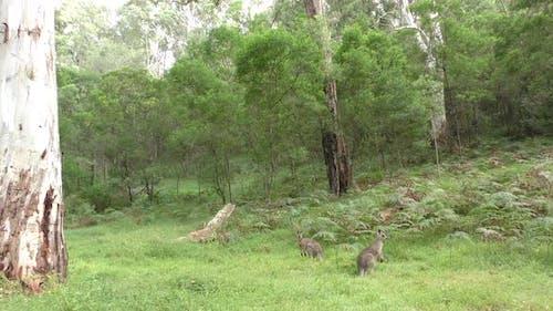 Eastern Grey Kangaroo Buck Male Adult Pair Alarmed Spooked Frightened Running Fleeing