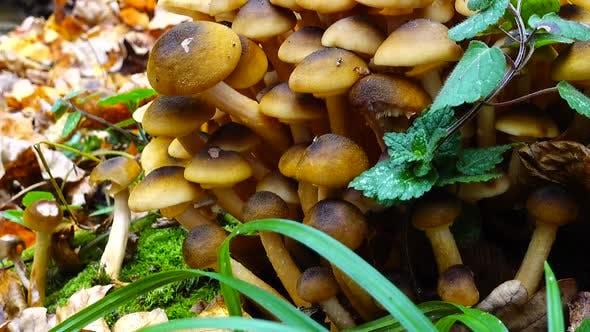 Honey Fungus Mushrooms 15