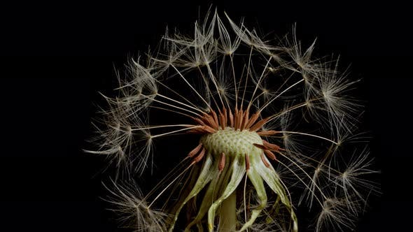 Thumbnail for Macro shot of a Dandelion rotating