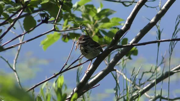 Thumbnail for Song Sparrow Adult Lone Predation Kill Capture Carrying in Summer