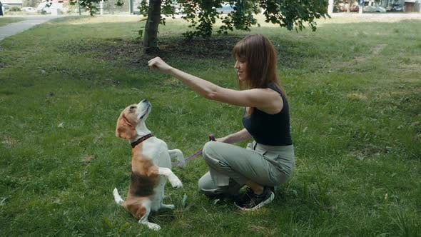 Thumbnail for Beagle Dogs Look Forward To Eating. Dog Walking Walk with Training