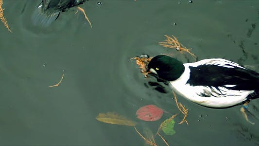 Thumbnail for Ducks 2