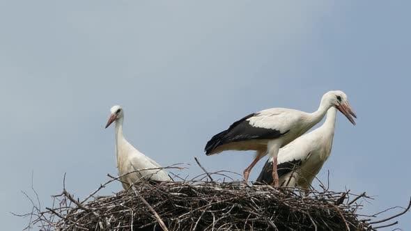 Thumbnail for Stork Family in the Nest