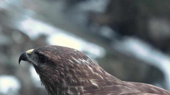 Bird of Prey Species - Common Buzzard (Buteo Buteo). Portrait.