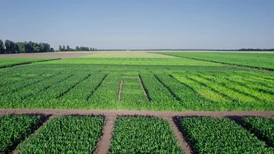 Green Agriculture Corn Field