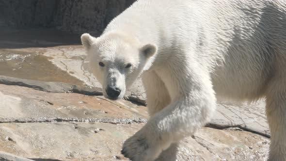 Thumbnail for Polar Bear