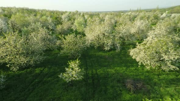 Thumbnail for Blooming Cherry Garden 3