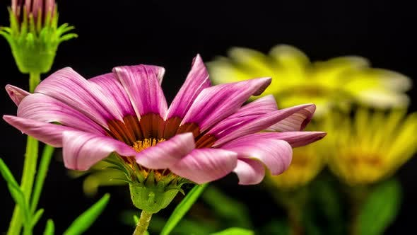 Thumbnail for Gerbera Flower on Black