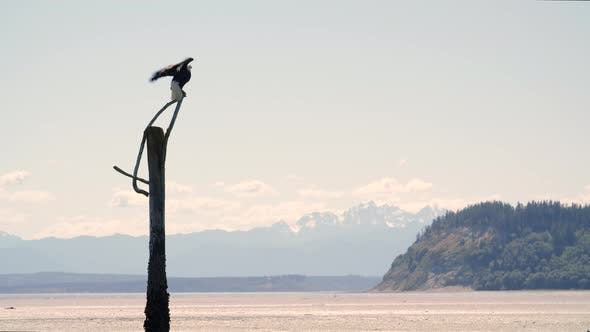 Bald Eagle Spreading Wings To Fly At Washington Beach