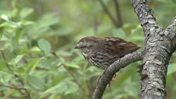 Thumbnail for Song Sparrow Bird in Northern Forest Perched Flying in Summer