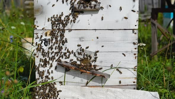 Bees Crawling at the Entrance To the Hive, Bee Family. Bees Flying Around the Beehives in the Apiary