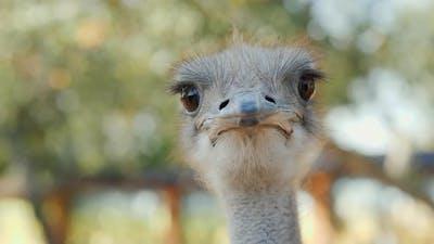 Portrait of a Cool Ostrich