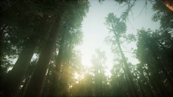 Cover Image for Redwood Forest Foggy Sunset Scenery