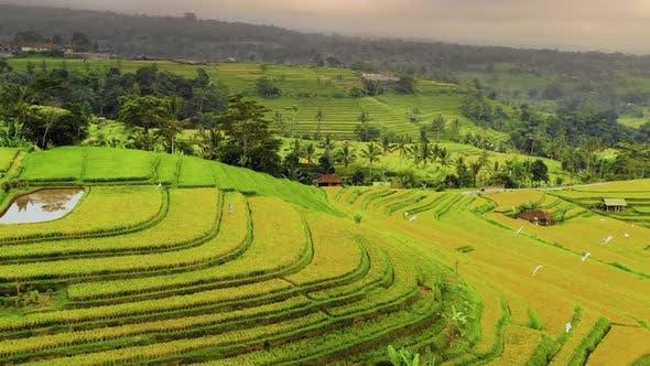 Thumbnail for Aerial shot of the lush green rice paddies of Bali.