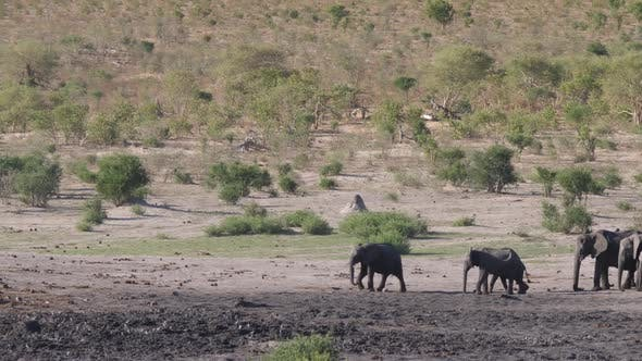 Thumbnail for Herd of African Bush Elephants
