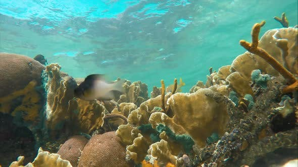 Thumbnail for Seabed on the Coral Reef in the Caribbean Sea Full of Baby Fish