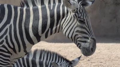 - Zebras in the Zoo