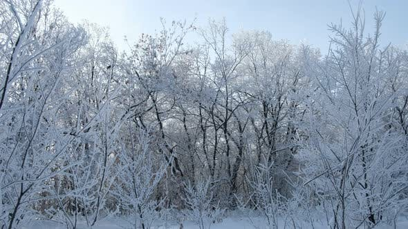 Beautiful Trees Swaying Covered With Snow Trees Were Covered With Snow With Frost