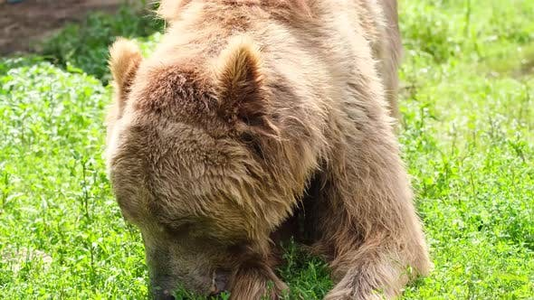 Old Brown Bear Eats Grass in the Forest
