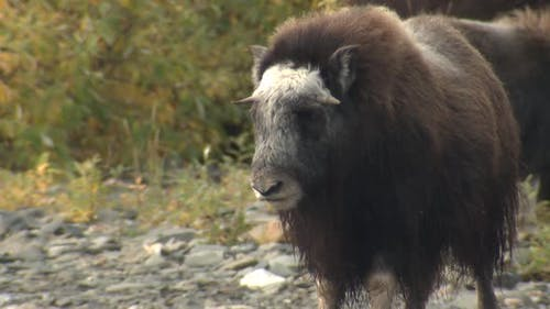 Musk Ox Immature Standing in Autumn in Alaska