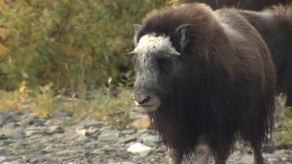 Thumbnail for Musk Ox Immature Standing in Autumn in Alaska