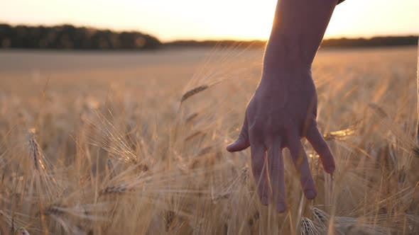 Cover Image for Close Up Male Arm of Agronomist Walks Through the Cereal Field and Touches with Hand Golden Ears of