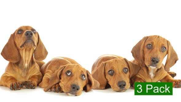 Thumbnail for Dachshund Puppy (3-Pack)