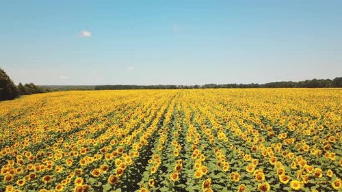Aerial view of cultivated sunflower field in summer. Sunflower is flowering.