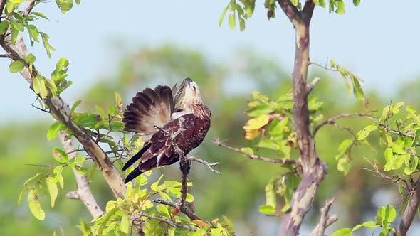 Changeable hawk eagle in Arugam bay nature reserve, Sri Lanka