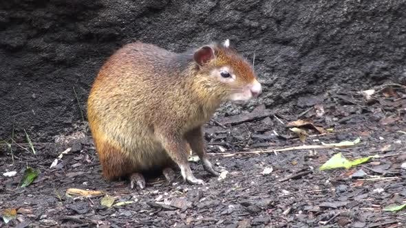 Thumbnail for Red-rumped Agouti Adult Alone Eating Feeding Winter