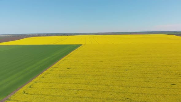 Thumbnail for Aerial Drone View of Yellow Canola Field. Harvest Blooms Yellow Flowers Canola Oilseed