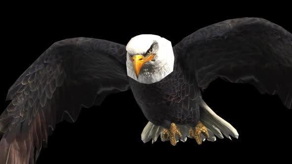 Bald Eagle Flying Looped