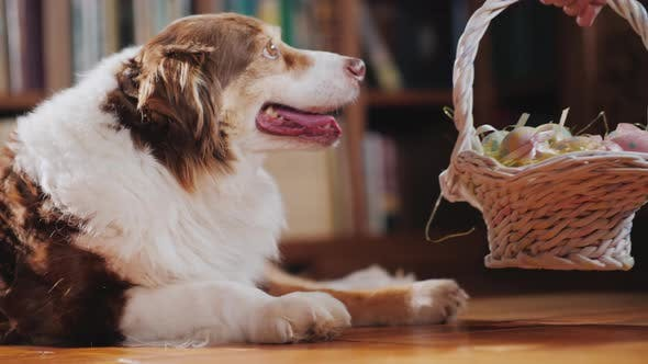 Thumbnail for A Basket with Easter Decorations Is Placed Near the Dog