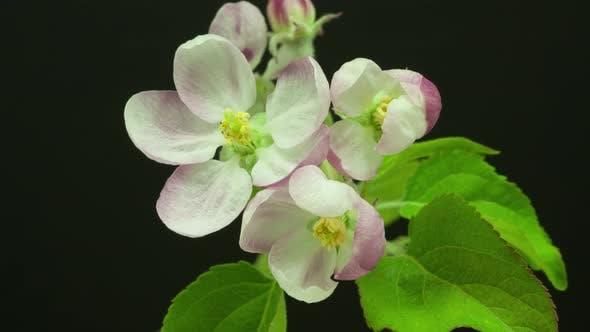 Thumbnail for Apple Flower Blossom on Black