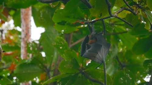 Fliegende Füchse hängen an einem Baum Zweig und Abwaschen