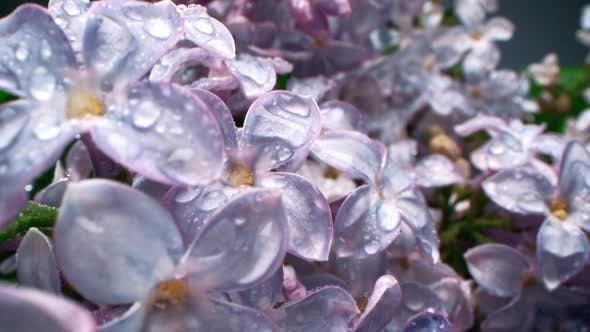 Thumbnail for Wet Lilac Blossom Flowers