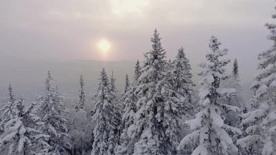 Snowcovered Tops of Pine Trees Shot By Drone