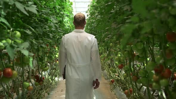 Hydroponic Greenhouse of Man Walking on Plantation with Tomato Vegetables and Holding Tablet Spbd
