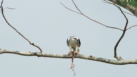Thumbnail for Black Shouldered Kite Eagle Feeding