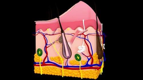 Anatomie der Haut