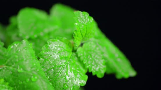 Mint Leaves with Water Drops Rotates Slowly.