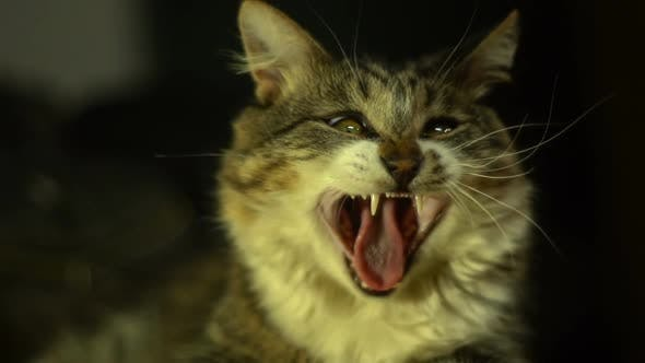Thumbnail for Yawning Cat