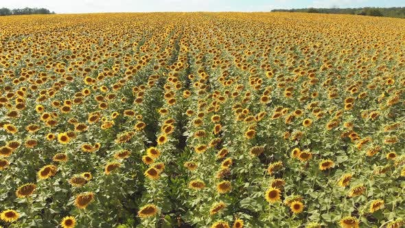 Aerial Drone View of Sunflowers Field, Rows of Sunflowers on a Hill