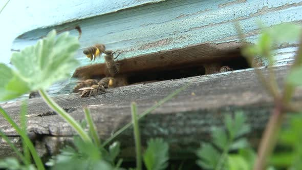 Bees at the bee hive