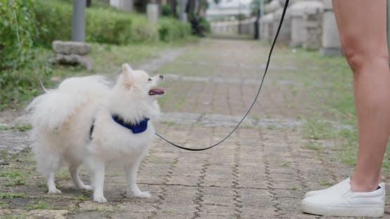 Pomeranian dog listen the command of woman