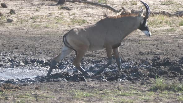 Thumbnail for Roan Antelope Walks Away from A Muddy Waterhole
