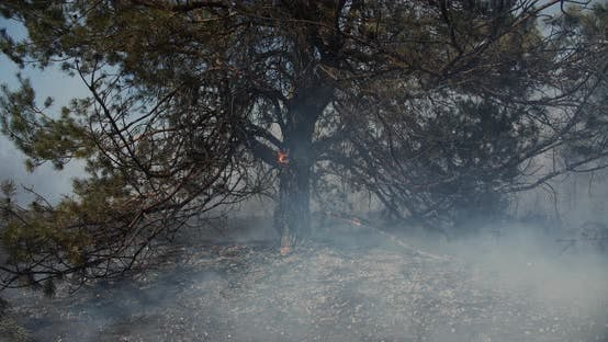 Burns Pine Roots Fire In Forest