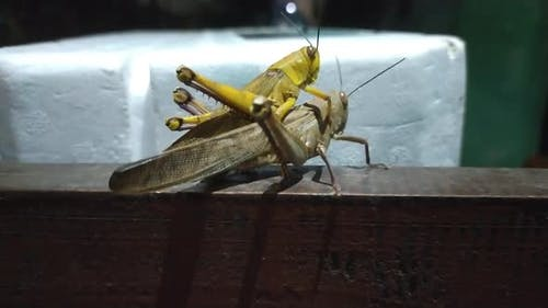 Grasshoppers are mating