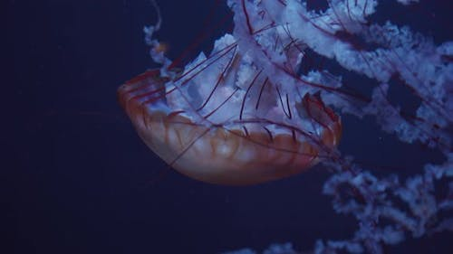 Closeup Shot of Beautiful Red Jellyfish Floating with Bell Underwater Leaving Behind Sting and